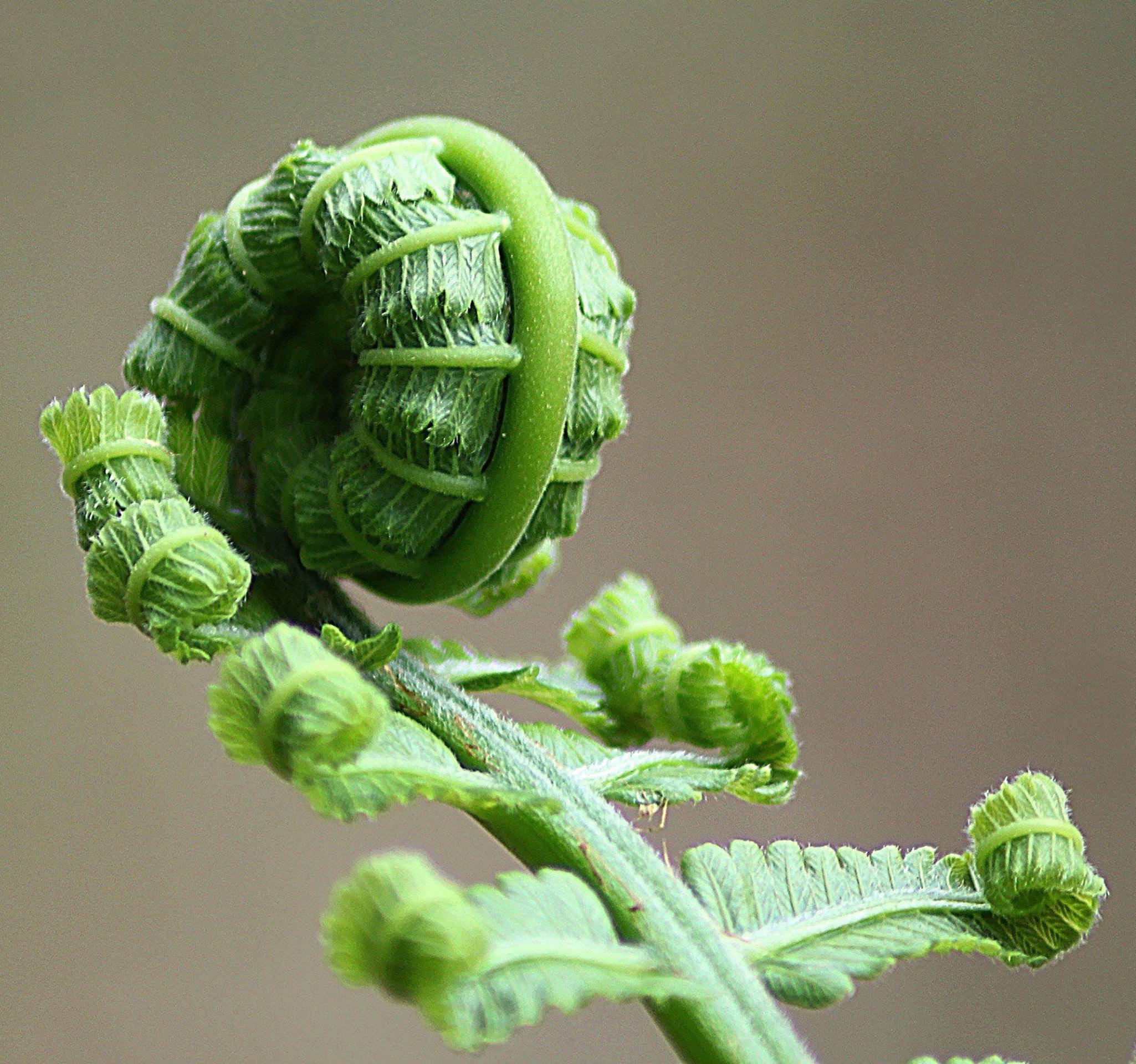 green fern about to unfurl