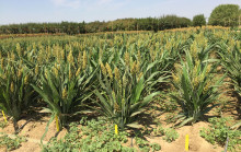 A field of sorghum plants