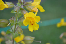 Photo of a monkeyflower.
