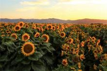 A field of sunflowers in Yolo County, California. (Photo by Chris Nicolini, UC Davis)