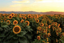 A field of sunflowers in Yolo County, California. (Photo by Chris Nicolini, UC Davis)