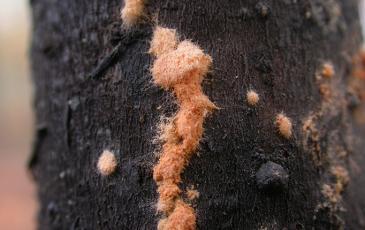 Neurospora fungus growing on dead wood at a controlled burn site in North Carolina.