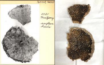 very old sunflower specimen
