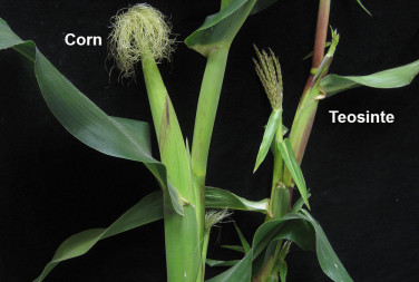 Close up of corn and teointe plants