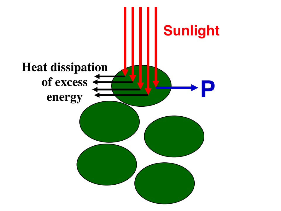 Schematic presentation of incident sunlight absorption and processing by fully pigmented (dark green) microalgae in a high-density culture.