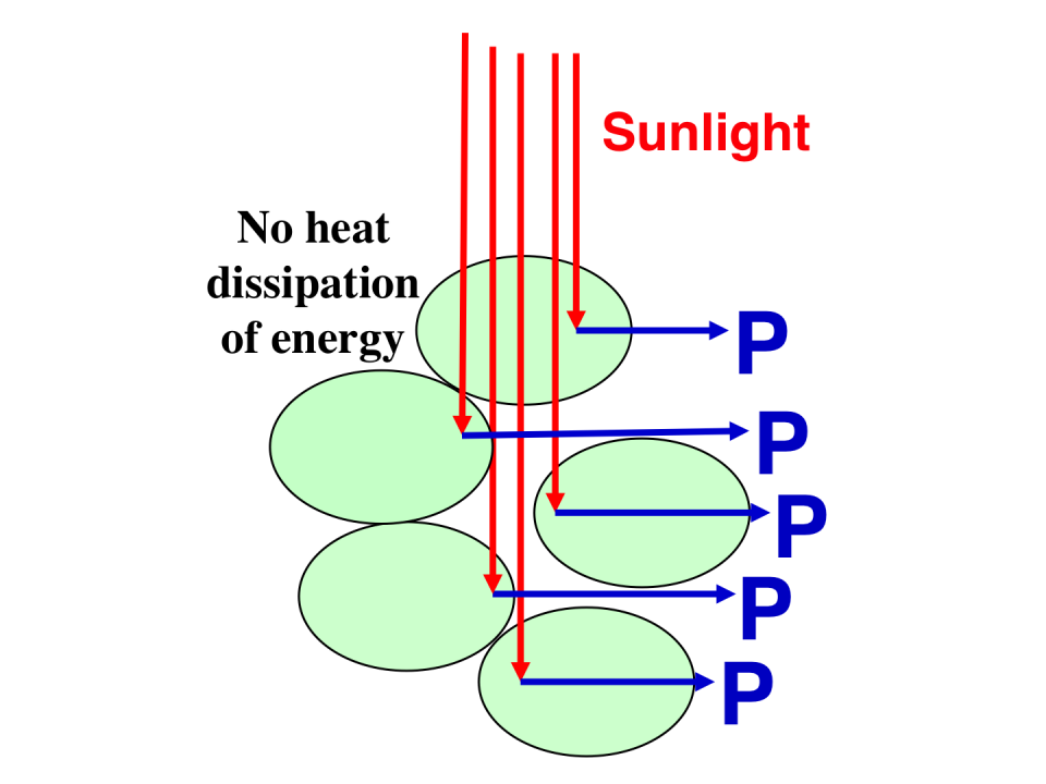 Schematic presentation of incident sunlight absorption and processing through cells with a truncated chlorophyll antenna size.