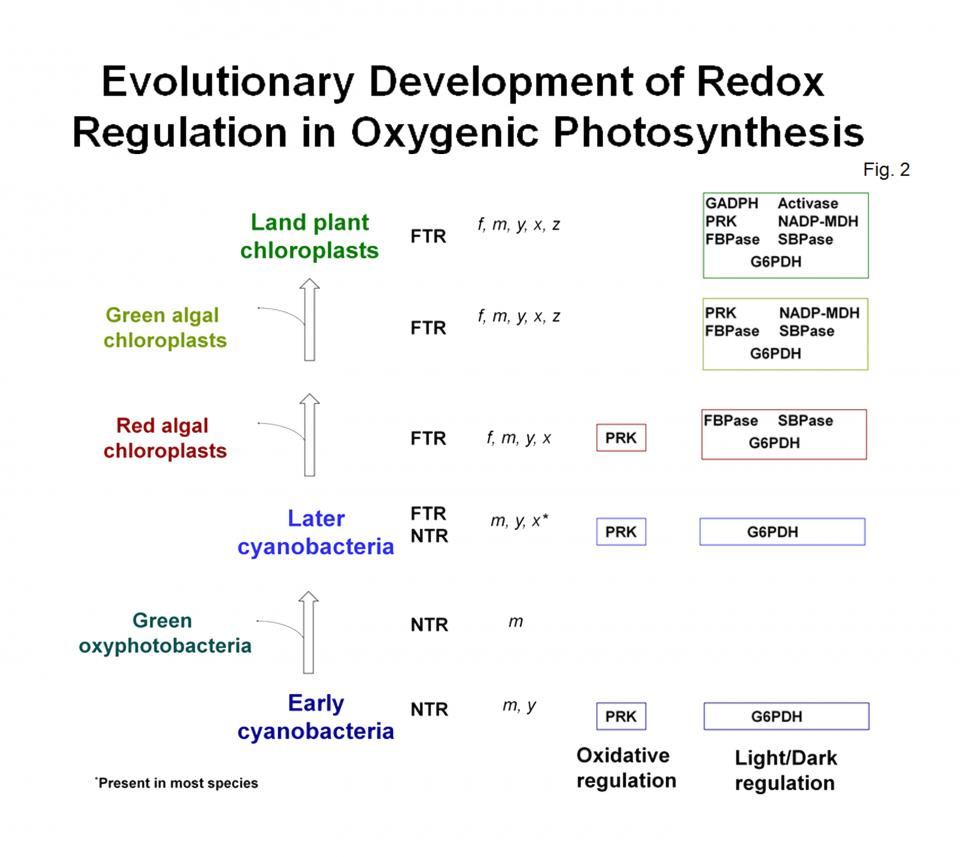 Evolutionary Development of Redox Regulation In Oxygenic Photosynthesis