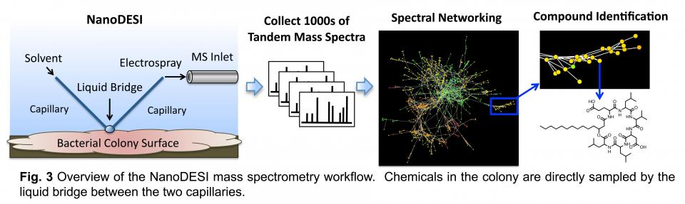 FIg. 3 Overview of the NanoDESI mass spectrometer workflow. Chemicals in the colony are directly sampled by the liquid bridge between the two capillaries