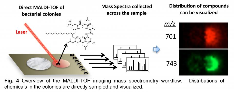 Fig. 4 Overview of the MALDI-TOF imaging mass spectrometry workflow. Distributions of chemicals int he colonies are directly sampled and visualized.